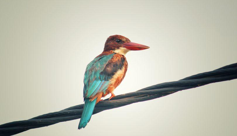 Ta med sångfågeln